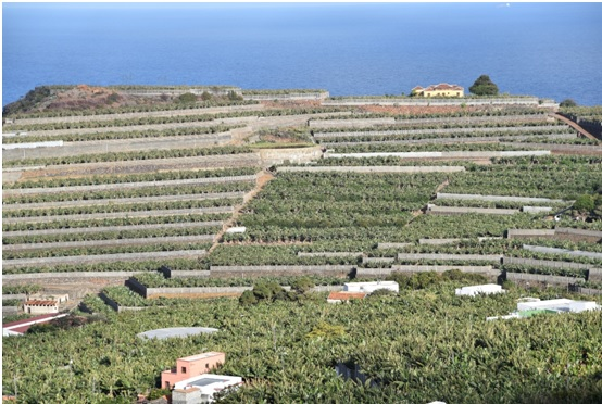 Picture 4: Extensive banana (platanos) plantations on terraces, at the northern part of La Palma Island.